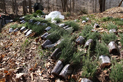 Red Spruce Seedlings Ready for Planting (U. S. Fish and Wildlife Service - Northeast Region) Tags: forest wv davis habitat seedlings planting usfws ecosystem redspruce canaanvalleynationalwildliferefuge