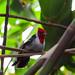 Amazonia Cardinal