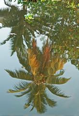 Reflections of Coconut Tree (_Maji_) Tags: india nikon kerala backwaters nikond300