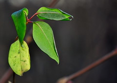 Green (Terje Hheim (thaheim)) Tags: green horizontal outdoors leaf nikon petal blad growth freshness grnn d90 fragility 85mmf35gmicrovr focusonforeground nopeople ginordicjan12 closeup