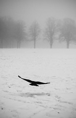 Crow Left of the Murder (Vemsteroo) Tags: trees winter blackandwhite mist snow cold bird ice monochrome canon wings northampton flight feathers eerie 7d crow racecourse f4 snowday 24105mm