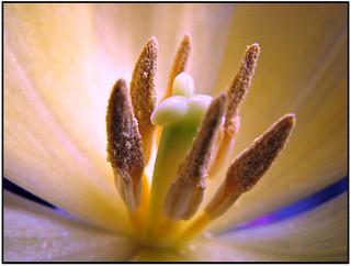 Tulip #1.