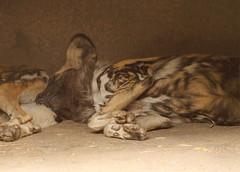African Wild Dog (sandy richard) Tags: usa oregon portland zoo unitedstates portlandoregon oregonzoo sandyrichard sandrarichard