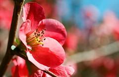 GLITTERING (La Branĉaro) Tags: winter plants sunlight flower slr film sunshine austin garden 1 texas fuji dof blossom bokeh olympus pinkflower om superia400 japanesequince japonica om1 earlyspring shallowdepthoffield hotpink zilkergardens brightsunshine zilkerbotanicalgarden springblossom chaenomelesjaponica springcolor 50mmf35macro zuikomacro pinkjaponica