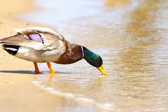Drake for a Drink (AngelBeil) Tags: county macro beach water bay duck pentax north feathers maryland bubbles boardwalk mallard drake chesapeake calvert