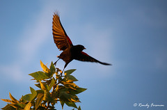 Taking Flight (Randy Forsman) Tags: california motion bird nature canon fly flying flight blackbird southport bif westsacramento birdinflight redwingedblackbird agelaiusphoeniceus westsacramentoca t5i bridgewaylakes canont5i randyforsman
