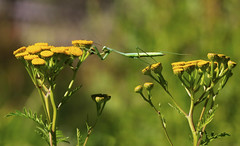 Praying Mantis : Reaching . . . (Clement Tang **busy**) Tags: summer nature floral insect moving bokeh wildlife yellowflower prayingmantis nationalgeographic macrophotography herbgarden insecta mantes mantodea mantidae closetonature heidemuseumofmodernart goldenbuttons concordians