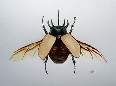 Eupatorus gracilicornis (ARōs (Ana Rodrigues)) Tags: illustration watercolor watercolorpencils scientificillustration eupatorus gracilicornis