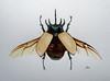 Eupatorus gracilicornis (ARōs (Ana Rodrigues)) Tags: illustration watercolor watercolorpencils scientificillustration eupatorus gracilicornis