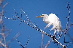 Grande Aigrette (jsguenette) Tags: bird wildlife birding ornithology birdwatching oiseau greategret faune ornithologie grandeaigrette