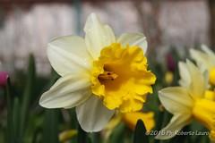 Narciso (Roberto Lauro) Tags: travel flowers flower canon normandie fiori fiore francia viaggi giverny narciso giardini normandia