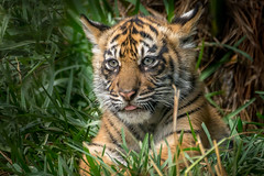 Alert Cub (helenehoffman) Tags: animal sumatra mammal cub tiger bigcat sumatrantiger carnivore felidae pantheratigrissumatrae diamondclassphotographer conservationstatusendangered sandiegozoosafaripark