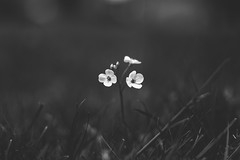 """Siamese Dream"" (Joe Effendi) Tags: blackandwhite bw flower nature blackwhite flora fuji dof bokeh outdoor depthoffield m42 thesmashingpumpkins bnw denhelder effendi supertakumar50mmf14 fujifilmxe1"