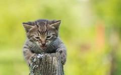 kittens (04) (Vlado Fereni) Tags: cats animals kitty croatia kittens catsdogs animalplanet hrvatska hrvatskozagorje zagorje tamron9028macro nikond600