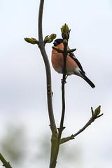 Bullfinch (roderick smith) Tags: bird finch bullfinch pyrrhulapyrrhula attenboroughnaturereserve nottinghamshirewildlifetrust