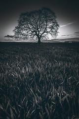 Old Rayne (Iain Brooks) Tags: old sunset white black tree field landscape mono scotland highlands nikon aberdeenshire scottish lone iain 20mm rayne brooks bennachie d610 18g iainbphoto