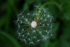 New beginnings. (janrs7) Tags: macro green nature june closeup flora dandelion seeds faded contrasts tamron70300mm sonyilc6000