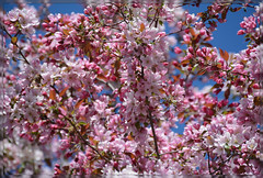 <> Spring Flowering Splendor - III. <> (Wolverine09J ~ 1 Million + Views) Tags: blossoms floweringcrabapple pinkonblue heartawards springfloral colorfulcrab rainbowofnaturelevel1red aprilfloraandfungi