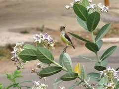 Purple-rumped Sunbird (Leptocoma zeylonica) (larksphotography) Tags: wild bird nature birds wildlife sunbird purplerumpedsunbird leptocomazeylonica  purplerumpedsunbirdfemale purplerumpedsunbirdleptocomazeylonica