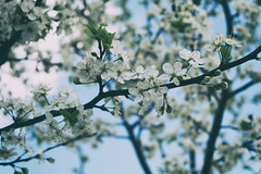 Apple-tree flowers (andrey.senov) Tags: flowers tree apple spring fuji russia may fujifilm province    kostroma  xa1 35faves    fujifilmxa1