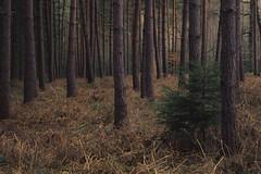 Straw Carpet (Netsrak) Tags: trees tree forest de carpet deutschland woods straw wald bume baum nordrheinwestfalen stroh teppich forst meckenheim