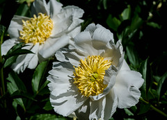 Paeonia Emodi (bankst) Tags: flowers white flower nature yellow spring nikon northcarolina depthoffield blooms paeoniaemodi d5100 peonyfamily
