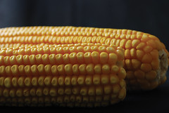 Improved maize  CIMMYT Xochiquetzal Fonseca (CGIAR Consortium) Tags: macro closeup corn grain seed ear cob maize grano mazorca primerplano elote acercamiento maz semilla cimmyt improvedvariety variedadmejorada