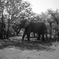 kruger_holga_bw_0006 (willow dower) Tags: africa blackandwhite elephant film monochrome animals analog southafrica holga outdoor wildlife 120film krugernationalpark krugerpark bigfive big5
