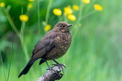Blackbird (juvenile) (GaseousClay1) Tags: bird nature wildlife turdusmerula habitat juvenile blackbird avian plumage worcestershirewildlifetrust