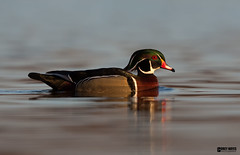 Wood Duck (Corey Hayes) Tags: wild male bird nature evening pond calm drake waterfowl natureontario
