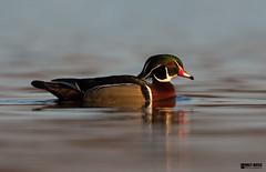 Wood Duck (Corey Hayes) Tags: wild male bird nature evening pond calm drake waterfowl natureontario