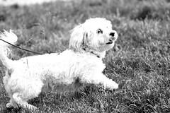 IMG_0225 (Chrissy Tha Black) Tags: new york city nyc portrait bw dog love brooklyn canon lens fun peace zoom outdoor walk portraiture williamsburg daytime date monchrome