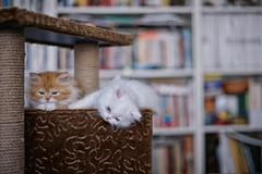 cabin crew (koolandgang) Tags: pet animal persian kitten kitty reis indoor kedi babycat 50mmf14g irankedisi imal nikond700 kedici