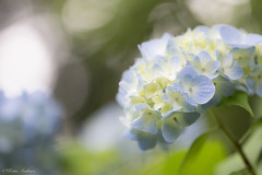 heartsease (keita.asakura) Tags: flower nature japan bokeh hana  hydrangea  naturephotography    flowerphotography
