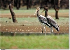 Painted Stork -Juvenile (Gurusan2010) Tags: paintedstork mycterialeucocephala