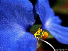 Azul (rvcroffi) Tags: flowers blue plant flores flower macro primavera nature beautiful azul closeup garden botanical spring natureza flor botânico jardim botanico iphone iphoneography olloclip
