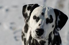 Happy Dog (C-Dals) Tags: winter dog snow nikon canine nikkor dalmatian sooc 55200mmf456gvr d5100