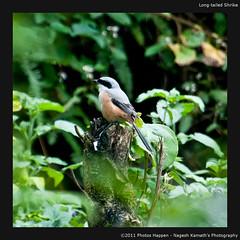 Long-tailed Shrike (Nagesh Kamath) Tags: bird birds birding kerala munnar birdphotography laniusschach longtailedshrike eldhose