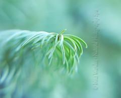 In the Snowy Fairy Forest (NaturalPhotographySpa) Tags: snow bokeh christmastree explore illusion southerncalifornia holidayspirit greenandwhite macrokit explored smoothbokeh fairyforest lensbabycomposer snowonabranch