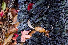 Fallen Leaves and Fungus (ZephyrSky1) Tags: autumn tree fall texture nature leaves japan japanese maple log mt pentax momiji kobe fallen fungus rokko kx smcpentaxfa43mmf19limited mount