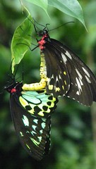 Cairns Birdwing Butterfly (www.JnyAroundTheWorld.com - Pictures & Travels) Tags: animal animals fauna reptile wildlife australia papillon monde animaux oiseau insecte libellule australie faune tortues jny