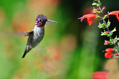 magic (champbass2) Tags: california male northerncalifornia hummingbird magic salvia annashummingbird magicwings chicocalifornia buttecounty calypteanna fromthegarden backyardbirding malehummingbird hummingbirdinflight wintervisitor maleannashummingbird cardinalsage champbass2