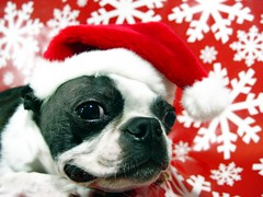Dec 12, 2011 [Day 042] (James_Seattle) Tags: santa christmas dog male hat boston bostonterrier december sam sony cybershot year2 sammy santahat k9 dscf717 366 2011 sonycybershotdscf717 christmasdog jamesseattle