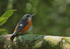 Blue capped Rock Thrush (Gurusan2010) Tags: ooty bluecappedrockthrush monticolacinclorhynchus