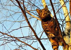 """Rasmus"" in the tree (Terje Hheim (thaheim)) Tags: cat nikon katt norwegianforestcat skogskatt forestcat d90 35mmf18g ginordicjan12"