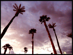 Indio Plams in the Morning (TheJudge310) Tags: california morning pink tree clouds glow september palmtrees indio 2011 nikoncoolpixp500