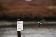 see you next year (Marco74M) Tags: sardegna nature birds wildlife natura uccelli kingfisher cagliari alcedoatthis capoterra zoneumide martinpescatore cacciafotografica canoneos1000d sigma120400mmf4556apodgos marco74m
