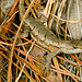 Male Fence Lizard