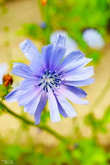 Beautiful Chicory Flower (AXEHD) Tags: flowers blue flower garden bokeh chicory gol aks