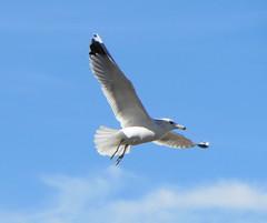 IMG_0442 ((Jessica)) Tags: california santa bird beach weather seagull monica